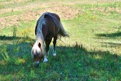 Stående av en avellinese häst med blond man som betar och äter gräs Arkivfoto