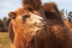 Stående av en Bactrian kamel Arkivfoton