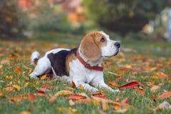 Stående av en beaglehund arkivbild