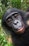 Stående av en behandla som ett barnbonobo congo demokratisk republik Lola Ya BONOBOnationalpark arkivfoto
