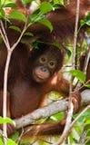 Stående av en behandla som ett barnorangutang Närbild Indonesien Ön av Kalimantan Borneo Royaltyfria Foton