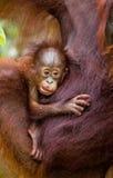 Stående av en behandla som ett barnorangutang Närbild Indonesien Ön av Kalimantan Borneo Arkivbild