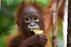 Stående av en behandla som ett barnorangutang Närbild Indonesien Ön av Kalimantan & x28; Borneo& x29; Arkivbilder