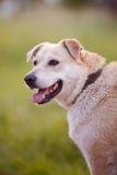 Stående av en beige hund. Royaltyfri Bild