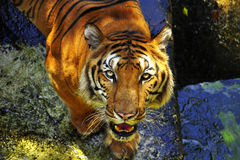 Stående av en bengal tiger Arkivbild