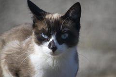 Stående av en blåögd katt med en misslynt framsida royaltyfri foto