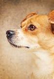 Stående av en blandad avelhund Arkivfoto
