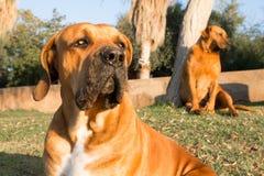 Stående av en Boerboel hund Fotografering för Bildbyråer