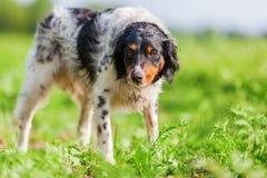 Stående av en Brittany hund på ett fält Royaltyfri Fotografi