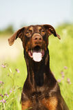 Stående av en brun dobermanpinscherhund royaltyfri bild