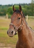 Stående av en brun häst Royaltyfri Bild