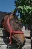Stående av en brun häst Royaltyfri Fotografi
