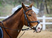 Stående av en brun häst i en tygel Arkivbild