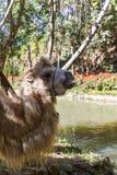 Stående av en brun hårig kamel royaltyfri fotografi