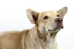 Stående av en brun hund på vit bakgrund Arkivfoto
