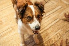Stående av en brun och vit herdehund som ses i Cracow fotografering för bildbyråer
