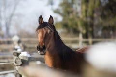 Stående av en brun sto i vinter Royaltyfri Foto