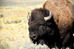 Stående av en buffel i ett gräsfält arkivbild