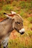Stående av en burro fotografering för bildbyråer