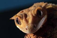 Stående av en Caledonian krönad gecko fotografering för bildbyråer