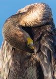 Stående av en Cormorant royaltyfri foto
