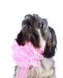 Stående av en dekorativ vovve med en rosa pilbåge Arkivbild