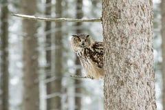 Stående av en Eagle Owl, Bubobubo Eagle Owl i träna i vintersäsongsammanträdet på en filial av ett träd Royaltyfria Bilder