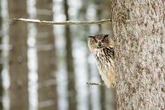 Stående av en Eagle Owl, Bubobubo Eagle Owl i träna i vintersäsongsammanträdet på en filial av ett träd Royaltyfri Fotografi