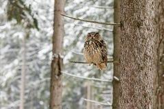 Stående av en Eagle Owl, Bubobubo Eagle Owl i träna i vintersäsongsammanträdet på en filial av ett träd Fotografering för Bildbyråer