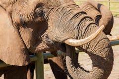 Stående av en elefant royaltyfri foto