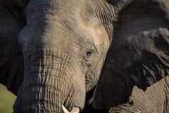 Stående av en elefant som går till och med ett fält i den Kruger nationalparken Royaltyfria Bilder