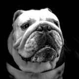 Stående av en engelsk bulldogg Fotografering för Bildbyråer