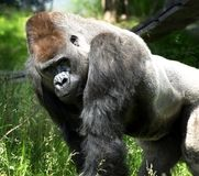 Stående av en enorm gorilla Royaltyfria Foton