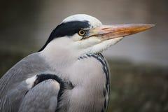 Stående av en ensamma Grey Heron i Hyde Park, London Royaltyfria Bilder