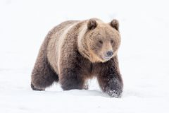 Stående av en europeisk brunbjörn Arkivfoton