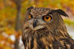 Stående av en europeiska Eagle Owl Royaltyfri Foto