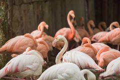 Stående av en flamingo på zoo royaltyfria foton