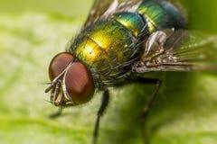 Stående av en fluga Royaltyfria Bilder