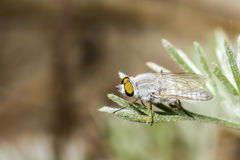 Stående av en fluga Royaltyfri Foto