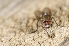 Stående av en fluga på trä Arkivbild