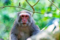 Stående av en Formosan macaque royaltyfria bilder