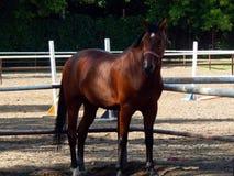 Stående av en fullblods- häst Arkivfoton