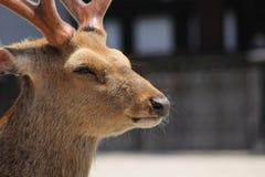 Stående av en fullvuxen hankronhjort i Japan Royaltyfri Foto