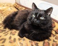 Stående av en gammal svart katt Royaltyfri Fotografi