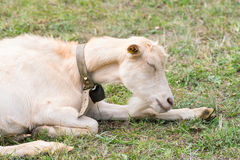 Stående av en get som sover på gräset Royaltyfri Fotografi