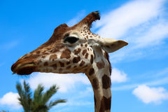 Stående av en giraff Arkivfoton