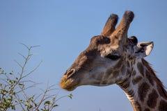 Stående av en giraff i den Kruger nationalparken Fotografering för Bildbyråer