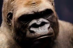 Stående av en gorilla Royaltyfri Bild