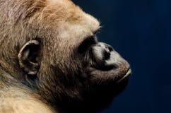 Stående av en gorilla Royaltyfri Foto