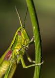 Stående av en gräshoppa Fotografering för Bildbyråer